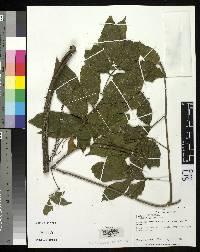 Image of Paullinia eliasii