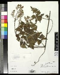 Serjania membranacea image