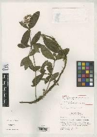 Neomirandea gracilis image