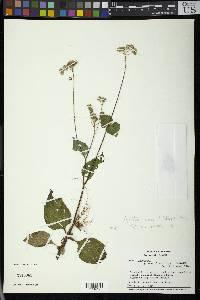 Image of Ageratum oliveri