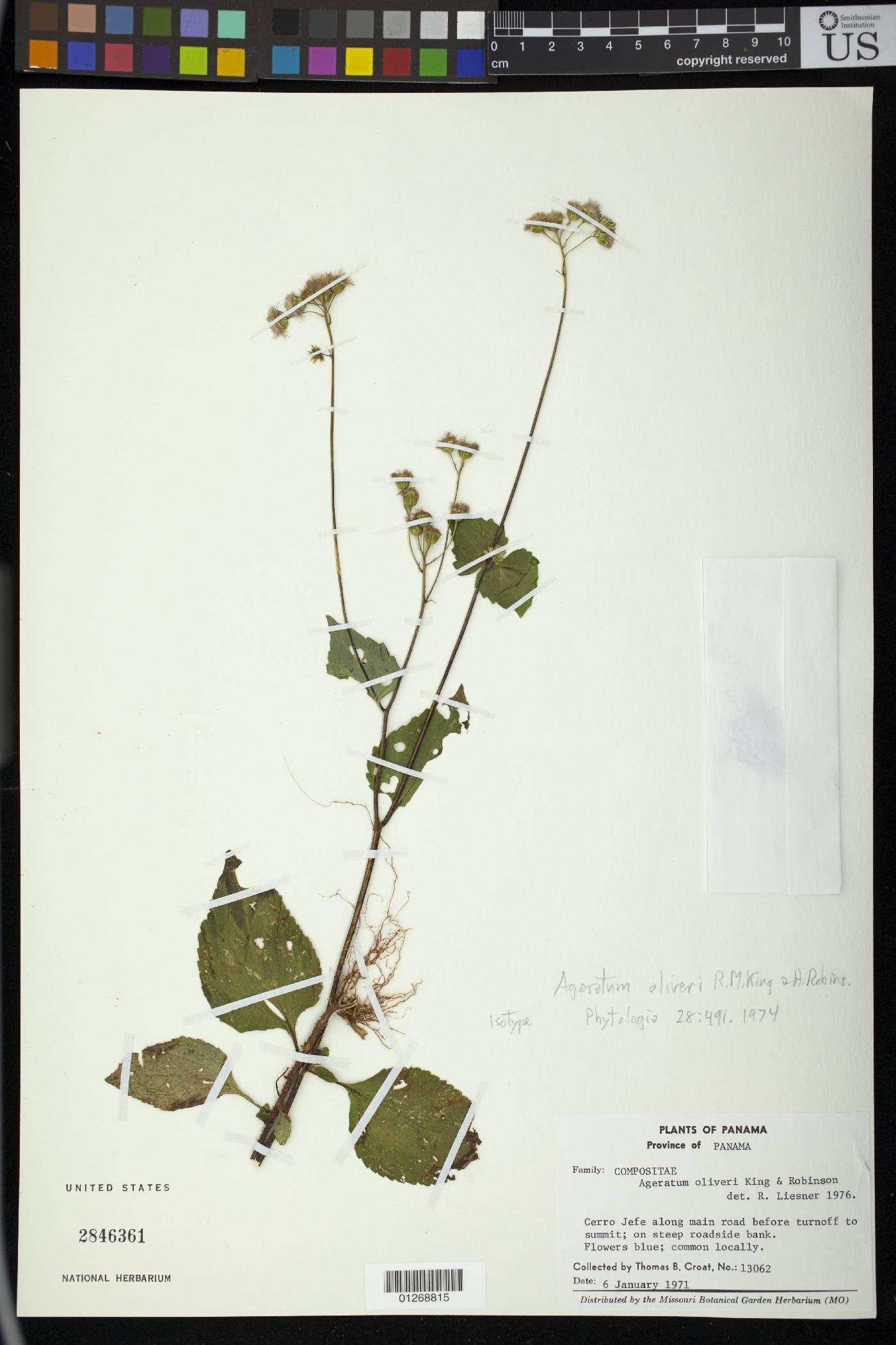 Ageratum oliveri image
