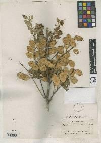 Lonchocarpus luteomaculatus image