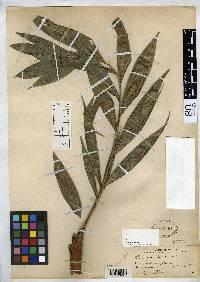 Chamaedorea pittieri image