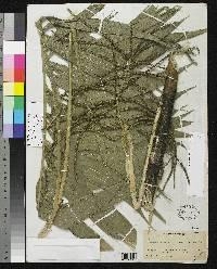 Chamaedorea linearia image