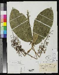 Schefflera epiphytica image