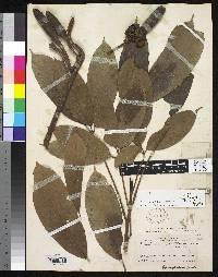 Gyranthera darienensis image
