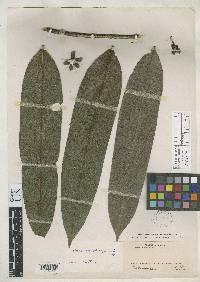 Guatteria chiriquiensis image