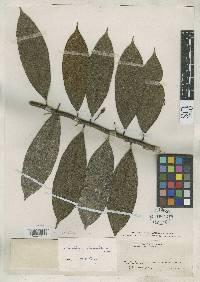 Guatteria dumetorum image