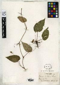 Begonia carletonii image