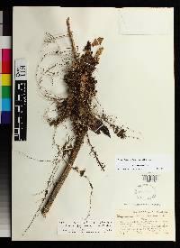 Drymonia macrophylla image