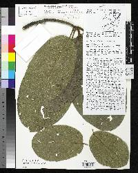 Phragmotheca mammosa image