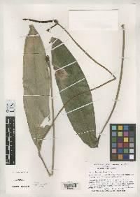 Image of Anthurium cartiense