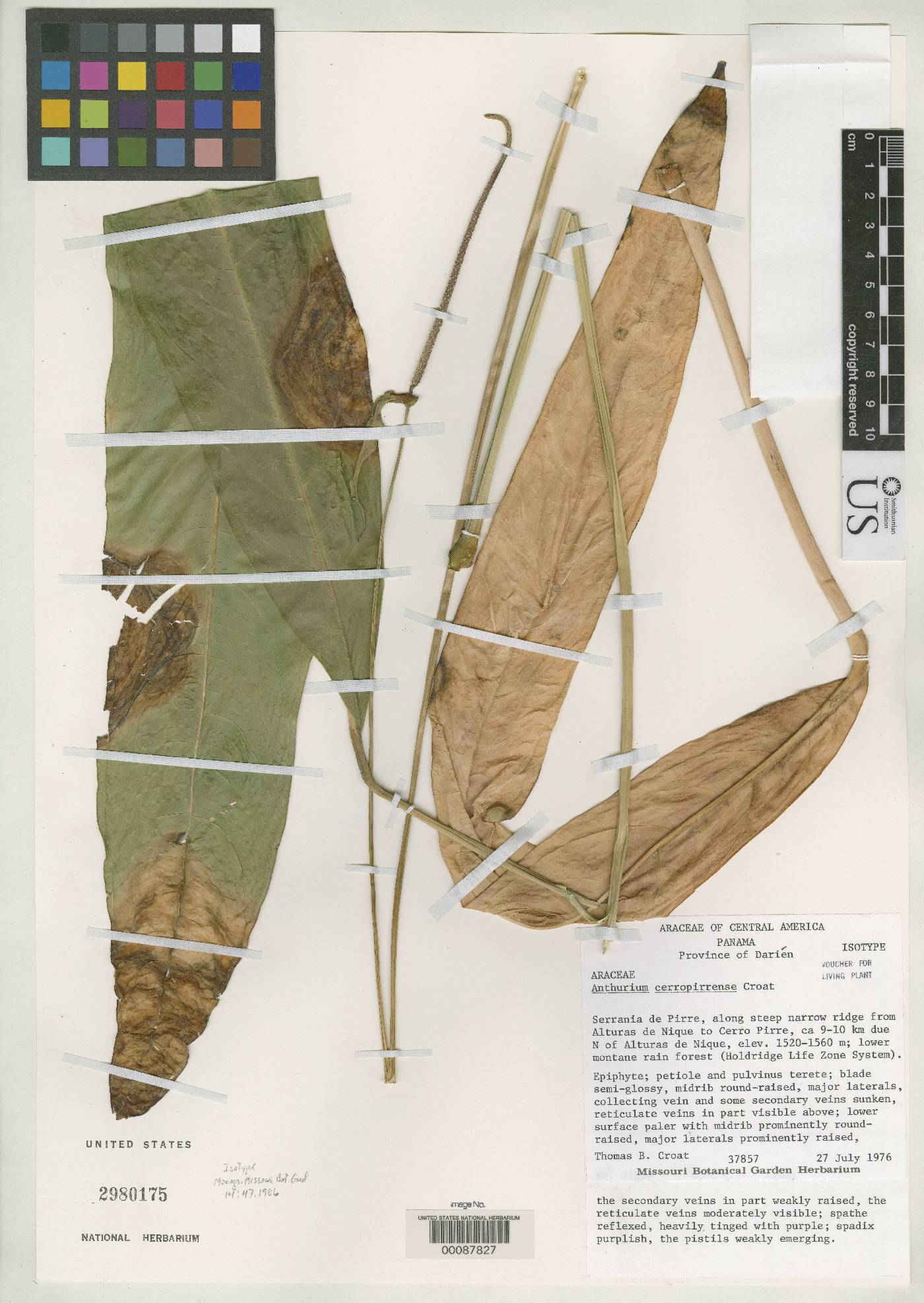 Anthurium cerropirrense image