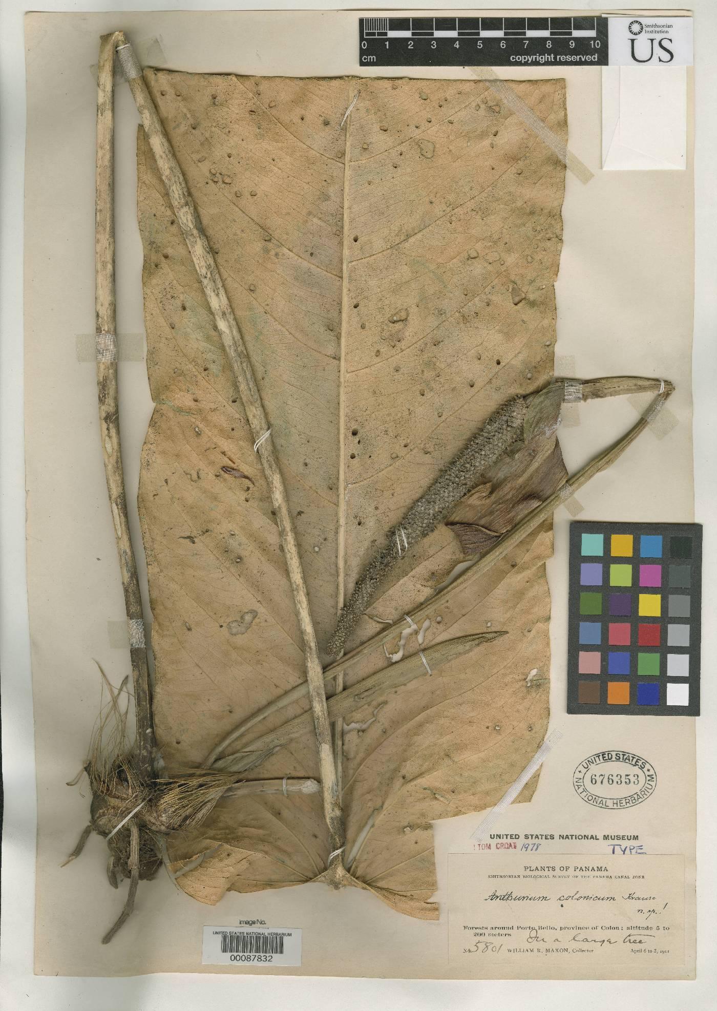 Anthurium colonicum image