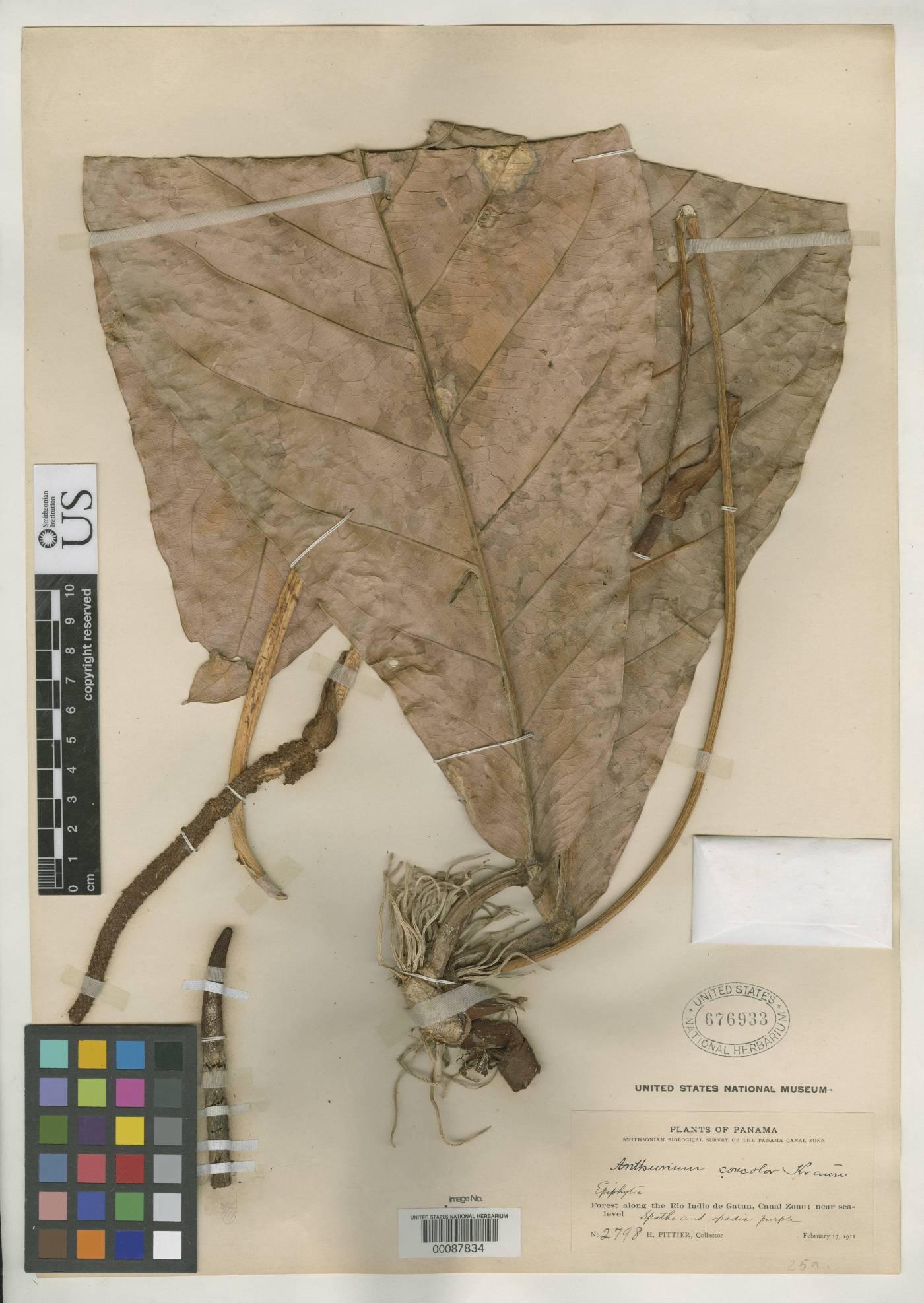 Anthurium concolor image
