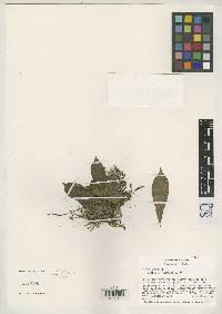 Anthurium correae image