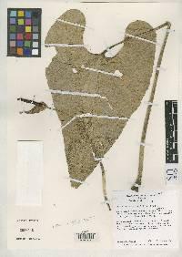 Anthurium cotobrusii image