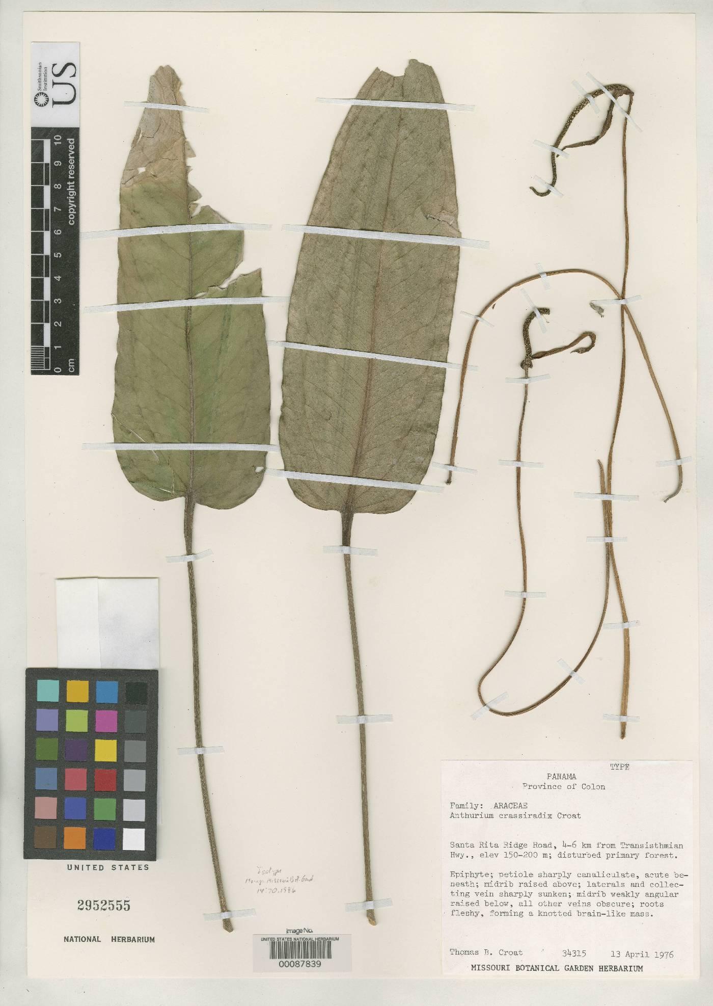 Anthurium crassiradix image