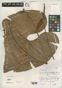 Anthurium curvispadix image