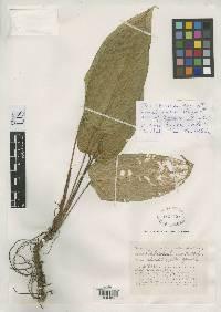 Anthurium davidsoniae image