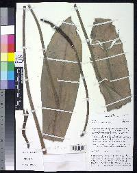Anthurium dwyeri image