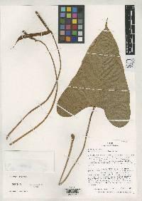 Anthurium erythrostachyum image