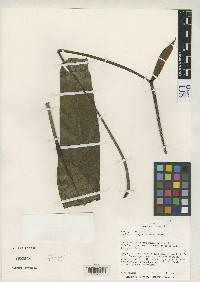 Anthurium fragrantissimum image