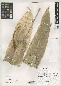 Anthurium hebetatum image