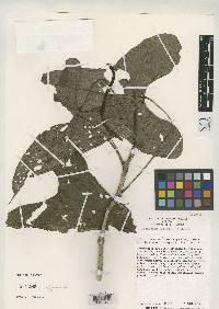 Anthurium hutchisonii image