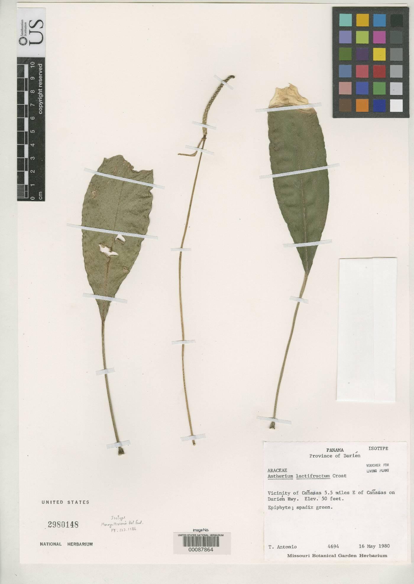 Anthurium lactifructum image