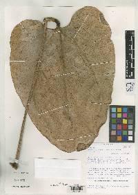 Anthurium lentii image