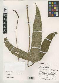 Anthurium madisonianum image