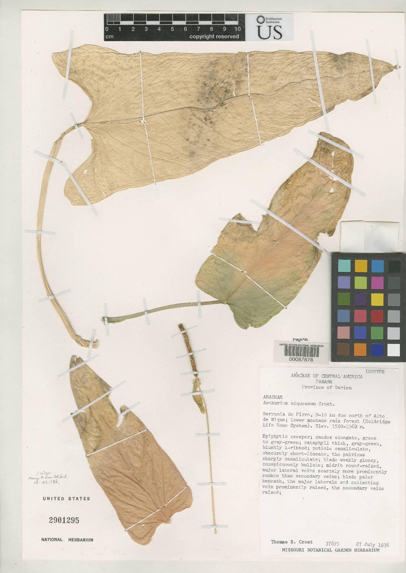 Anthurium niqueanum image