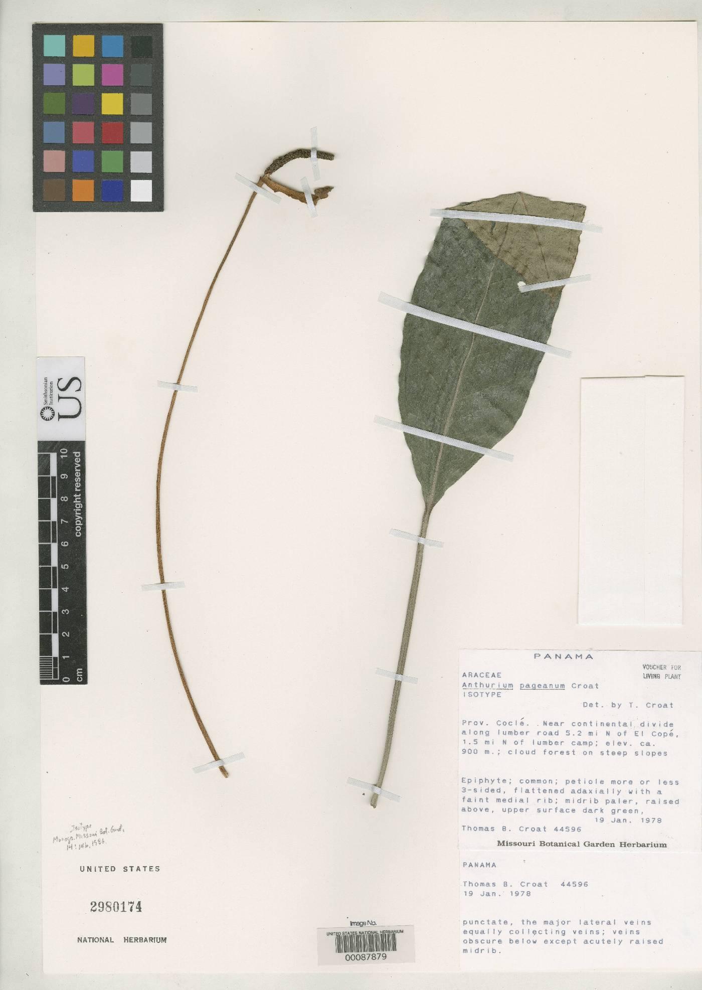 Anthurium pageanum image