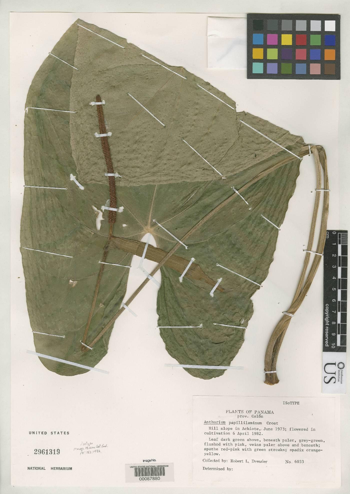 Anthurium papillilaminum image