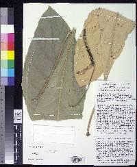 Anthurium purpureospathum image