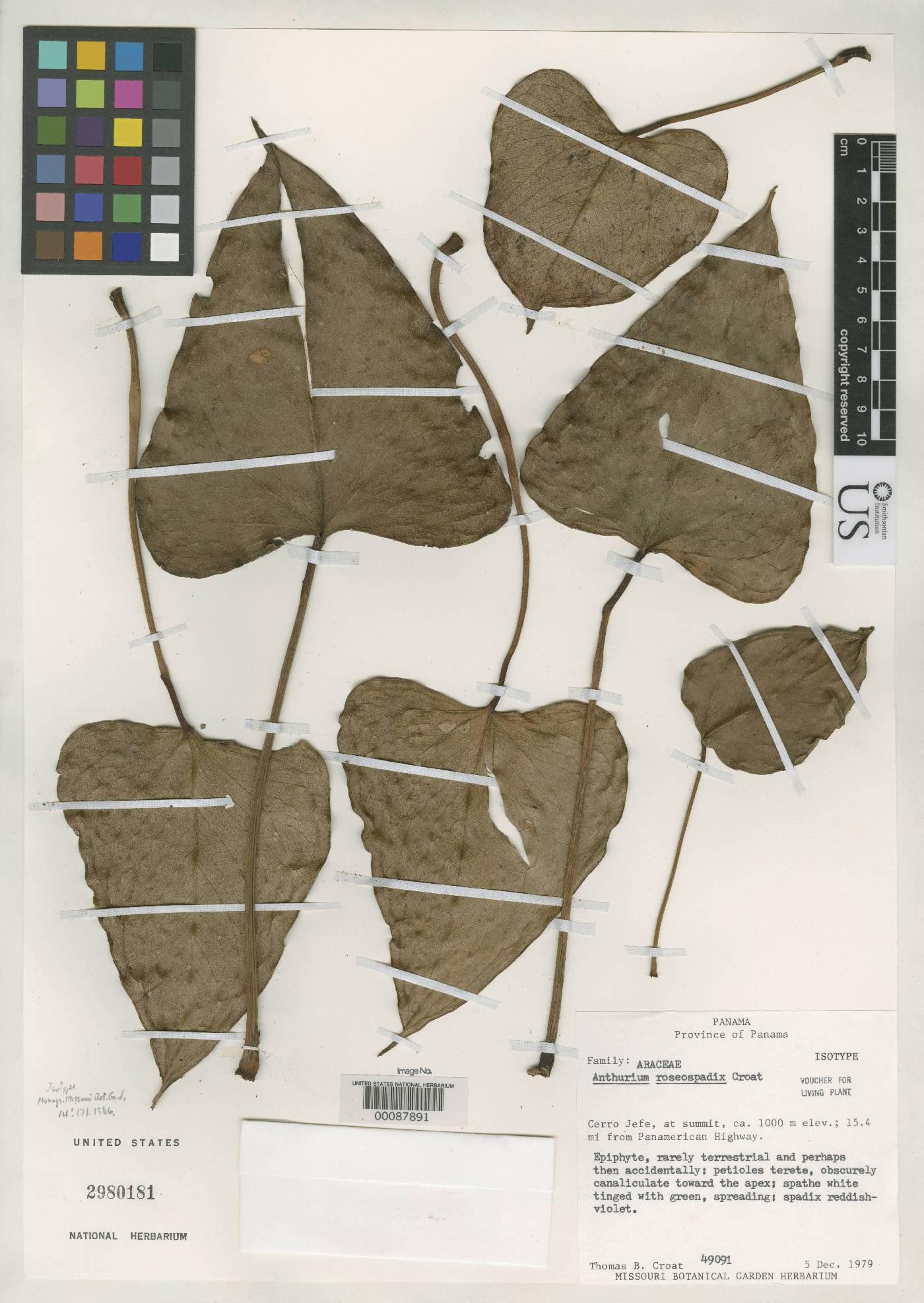 Anthurium roseospadix image