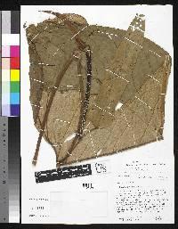 Anthurium rotundatum image