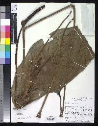 Anthurium sanctifidense image