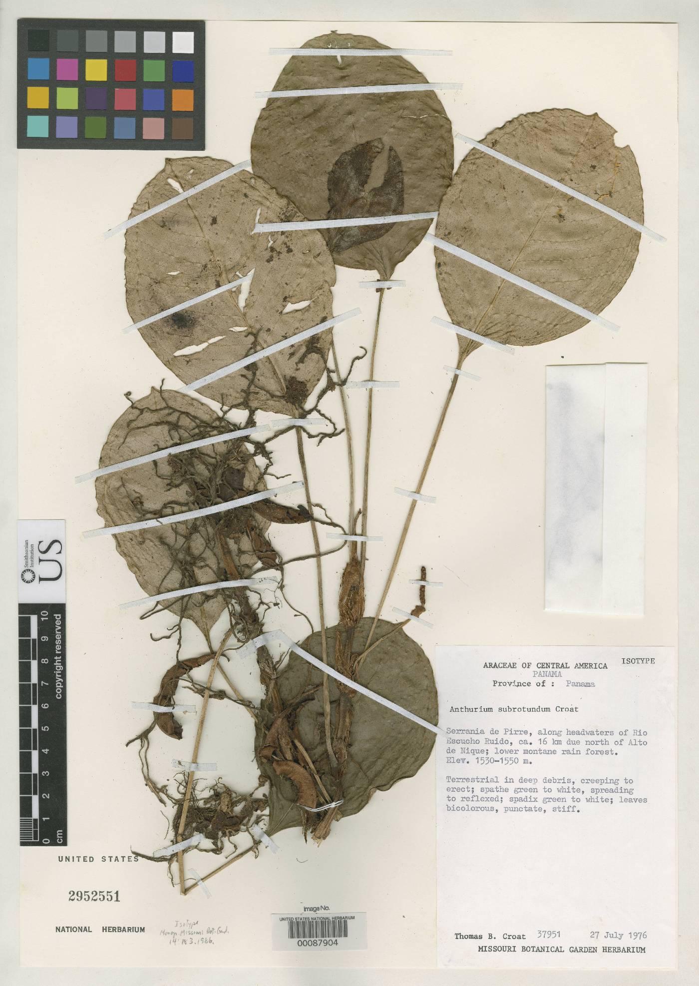 Anthurium subrotundum image