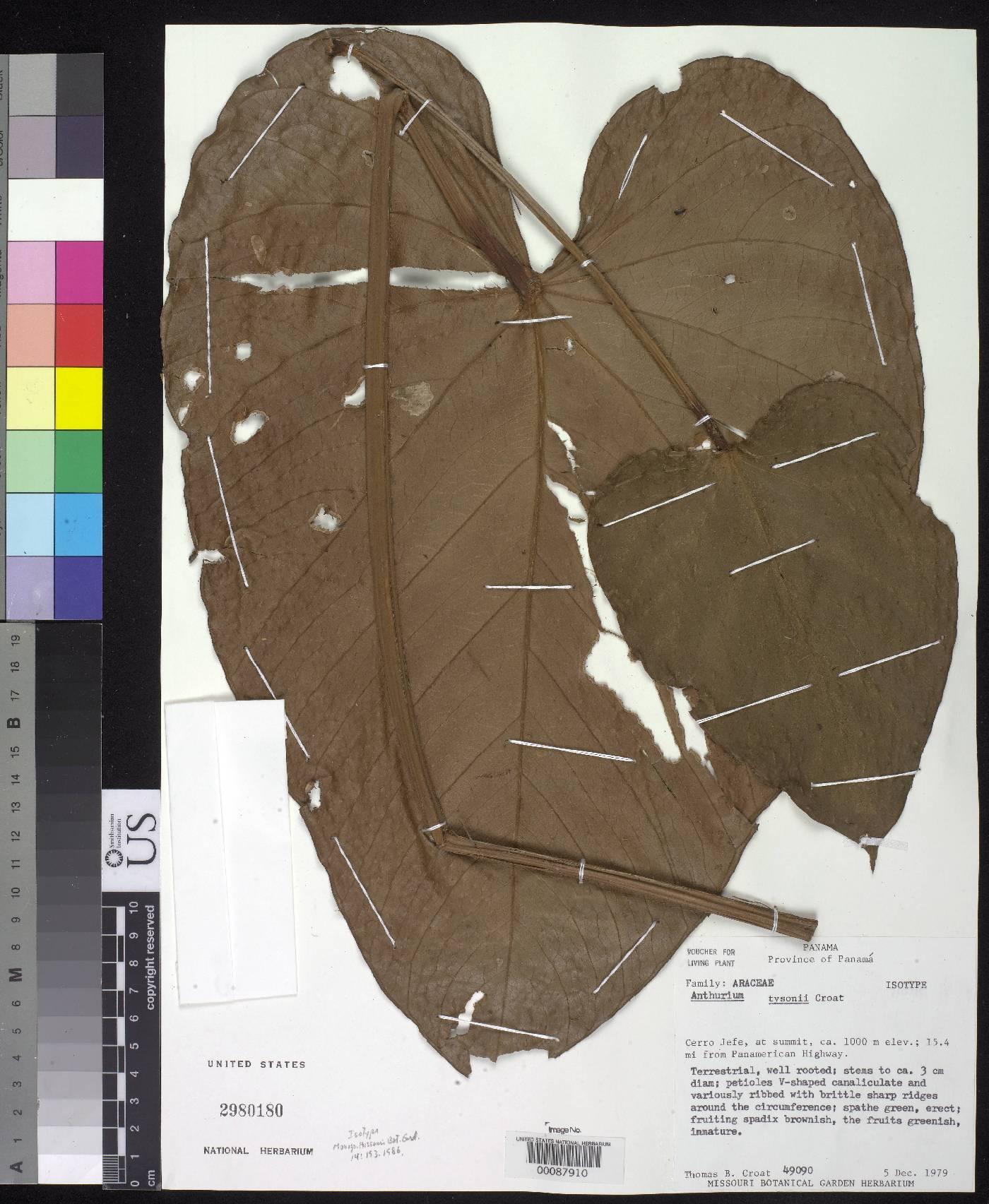 Anthurium tysonii image