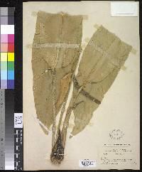 Anthurium validifolium image