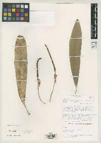 Anthurium wedelianum image