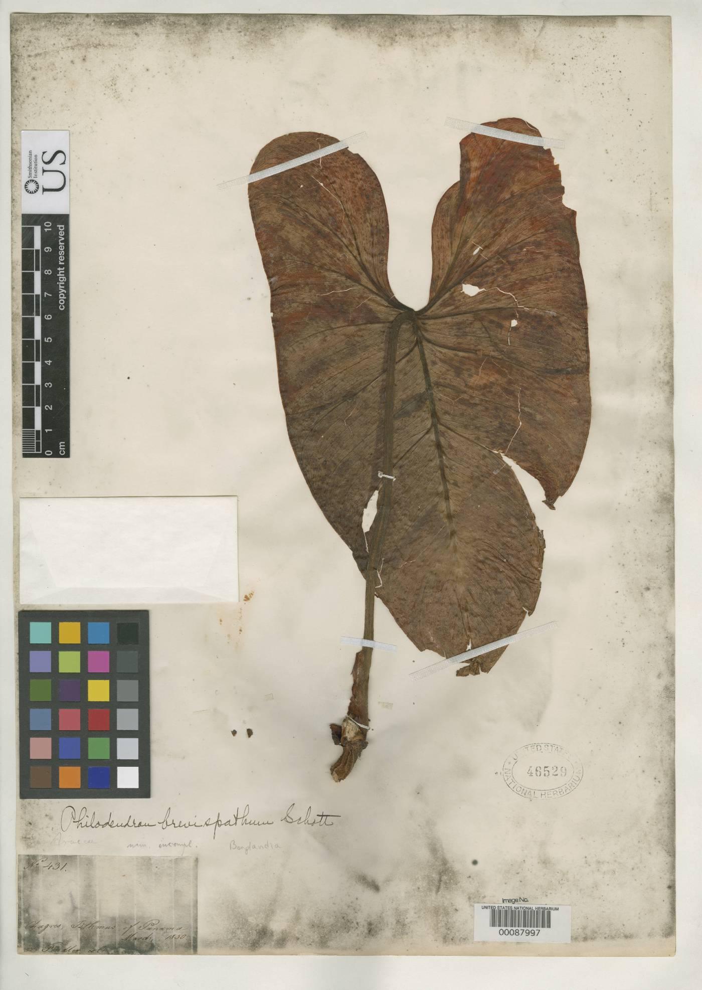 Philodendron brevispathum image