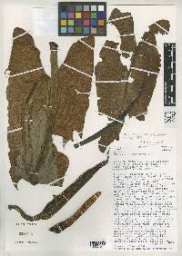 Philodendron chiriquense image