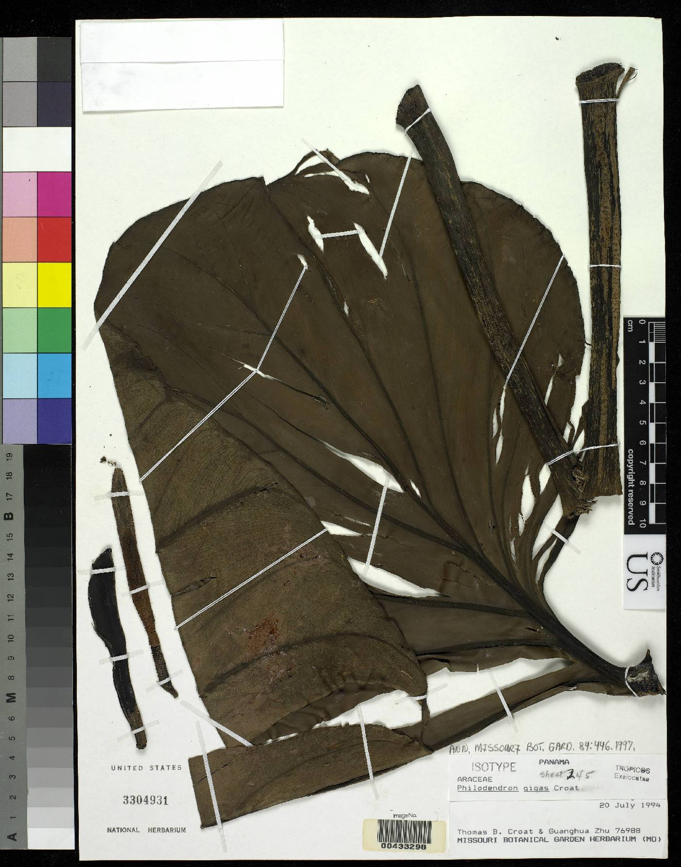 Philodendron gigas image