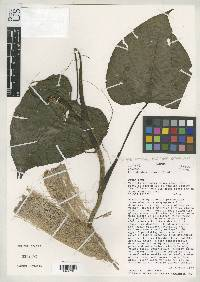 Philodendron lazorii image