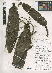Philodendron ligulatum image