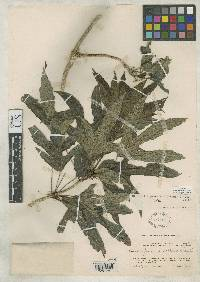 Dendropanax praestans image